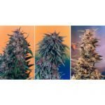 Colour Mix 2 – 6 Feminised Seeds