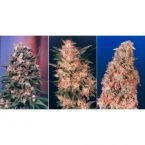 Dutch Passion Colour Mix 3 - 6 Feminised Seeds