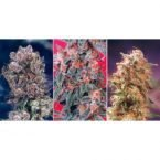 Dutch Passion Colour Mix 4 - 6 Feminised Seeds