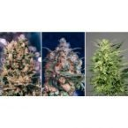 Dutch Passion Colour Mix 5 - 6 Feminised Seeds