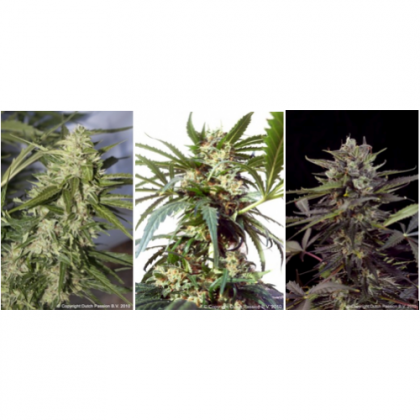 Dutch Passion Colour Mix 6 ' Autoflowering Feminised Seeds