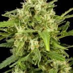 Dinafem Critical + Automatic Feminised Seeds
