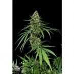 Dinafem Critical + Feminised Seeds