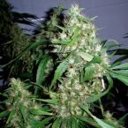 Barney's Farm Critical Rapido Auto Feminised Seeds