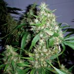 Critical Rapido Auto Feminised Seeds
