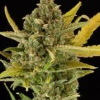 Dinafem Critical Cheese Auto Feminised Seeds