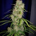 Cannabiogen Destroyer Regular Seeds