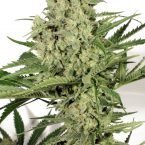 Dutch Passion Dutch Cheese Feminised Seeds