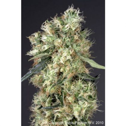 Dutch Passion Dutch Haze Feminised Seeds