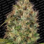 Paradise Seeds Dutch Kush feminised