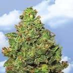 Flying Dutchmen Edelweiss Feminised Seeds