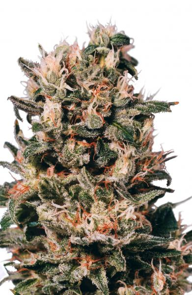 Dutch Passion Euforia Feminised Seeds