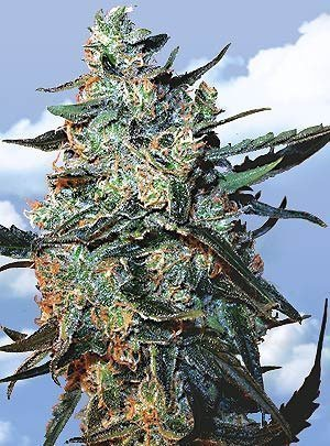 Flying Dutchmen Female Mix Seeds