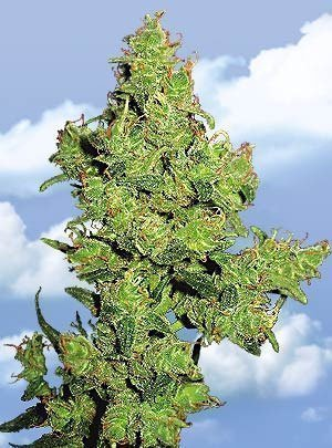 Flying Dutchmen Flying Dragon Feminised Seeds