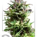 Dutch Passion Forest Dream Feminised Seeds