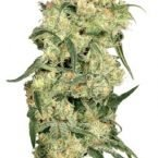 Dutch Passion Freddie's Best Feminised Seeds
