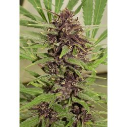 Dutch Passion Frisian Dew Feminised Seeds