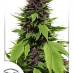 Dutch Passion Frisian Duck Feminised Seeds
