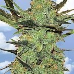Flying Dutchmen G-Force Feminised Seeds