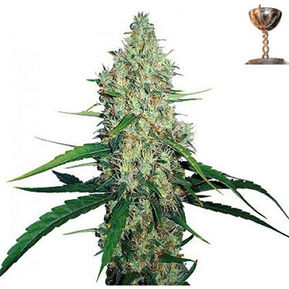 Barney's Farm G13 Haze Feminised Seeds