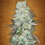 Fast Buds G14 feminised seeds