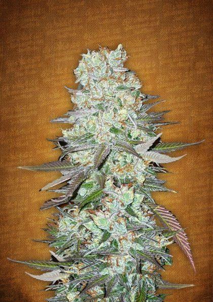Fast Buds G14 feminised seeds