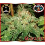 G-Bomb Feminised Seeds