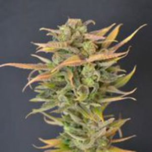 710 Genetics High Priority AUTO Feminised Seeds