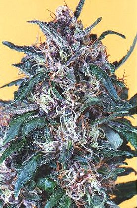 Dutch Passion Holland's Hope Feminised Seeds