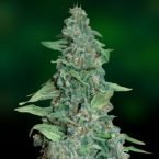 Barney's Farm Honey B Feminised Seeds