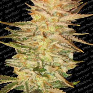 Paradise Seeds Ice Cream feminised