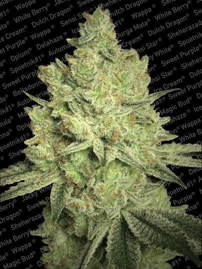Paradise Seeds Jacky White feminised