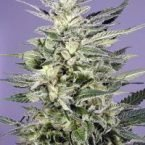 Dutch Passion Jorge's Diamond Feminised Seeds