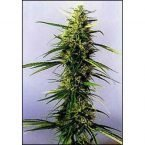 KC Brains KC 36 Feminised Seeds