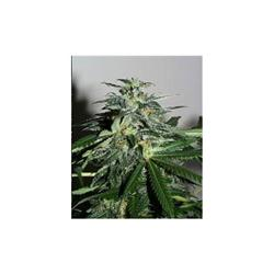 KC Brains KC 42 Feminised Seeds