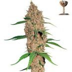 Barney's Farm Laughing Buddha Feminised Seeds