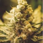 Female Seeds Lemon Kush Feminised Seeds