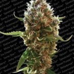 Paradise Seeds Lucid Bolt feminised