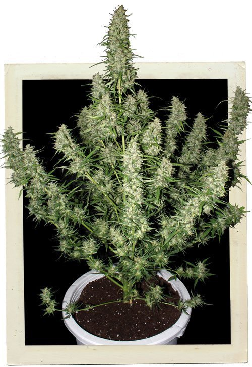 Buddha Seeds Magnum Auto Feminised Seeds
