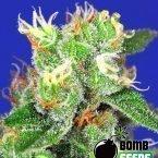 Bomb Seeds Medi Bomb #2