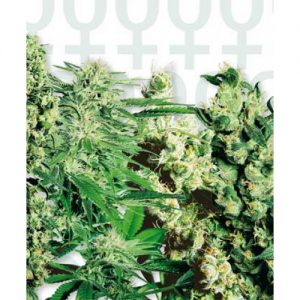 Sensi Seeds Mixed Feminised Seeds