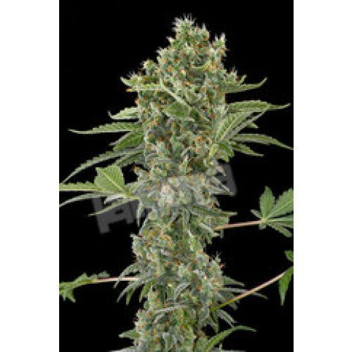 Dinafem Moby Dick Automatic Feminised Seeds