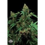 Dinafem Moby Dick Feminised Seeds