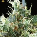 Greenhouse Seed Co. NL Automatic Feminised Seeds