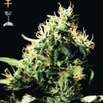 Greenhouse Seed Co. Pure Kush Feminised Seeds