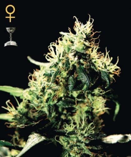 Greenhouse Seed Co. Pure Kush Feminised Seeds
