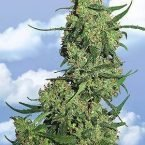 Flying Dutchmen Nepal Kush Feminised Seeds