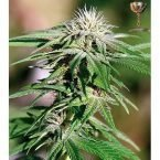 Barney's Farm Night Shade Feminised Seeds