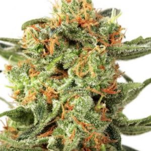 Dutch Passion Orange Hill Special Feminised Seeds