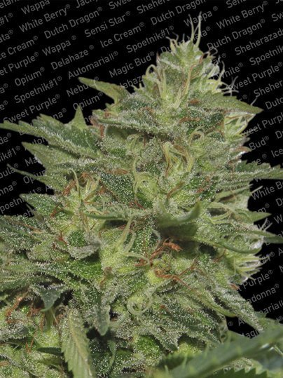 Paradise Seeds Original Cheese feminised